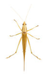 Single Brown Grasshopper. Royalty Free Stock Photography