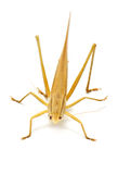 Single Brown Grasshopper. Stock Photography