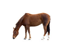 Single Brown Horse Grazing Isolated Clipping Path. A single brown horse head down grazing isolated on a white background with a clipping path royalty free stock images
