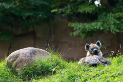 Single brown hyena lying next rock Stock Photo