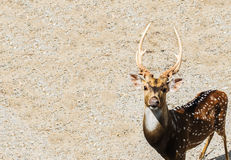 Single Brown Male Deer at The Corner Looking at You with Copyspace used as Template Stock Images