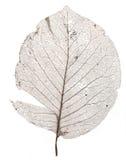 Single Brown Skeleton Leaf Royalty Free Stock Photo