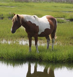 Single brown and white pony Royalty Free Stock Photo