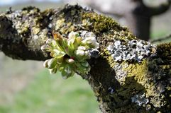 Single bud on a gnarled branch. Branch with moss and lichens and bud, beginning cherry blossom, cherry tree in spring detail, joy on spring messenger Stock Photo