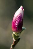 Single bud of pink magnolia in garden Royalty Free Stock Image