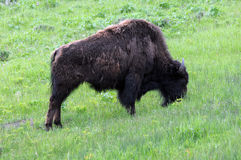 Single buffalo. Grazes across green grass field royalty free stock photos