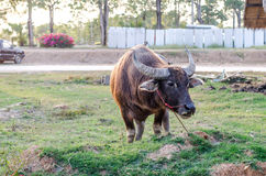 Single buffalo bind standing on the field Stock Images