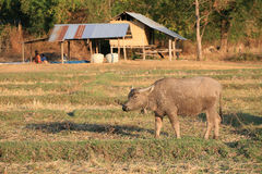 Single buffalo standing on the field  Stock Images