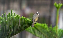 Bulbul light-vented bird Royalty Free Stock Photos