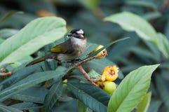 Bulbul light-vented bird Stock Photos
