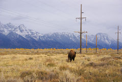 Single bull bison Royalty Free Stock Image