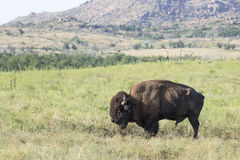 Single bull. Old bull buffalo in the western plains royalty free stock images