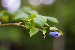 Single Bunch on Blueberry Bush Stock Photo