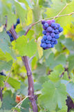 Single bunch of grapes Royalty Free Stock Photography