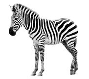 Single  burchell zebra isolated on white Stock Photo