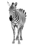 Single  burchell zebra isolated on white Royalty Free Stock Photos