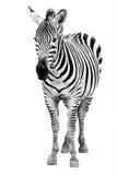 Single  burchell zebra isolated on white Royalty Free Stock Photos