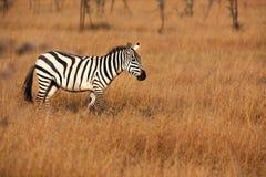 Burchell Zebra in Seregetti Stock Photography