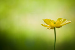 Single buttercup against bright bokeh background Stock Photography