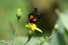 Single Butterfly. Butterfly sitting on top of a yellow flower Royalty Free Stock Photo