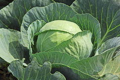 Single Cabbage Royalty Free Stock Photo