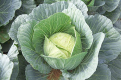 Single cabbage ready for harvesting Stock Image
