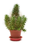 Single Cactus Royalty Free Stock Photo