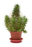 Single Cactus Royalty Free Stock Photo