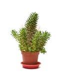 Single Cactus Royalty Free Stock Image