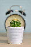 Single cactus and alarm clock Royalty Free Stock Photo