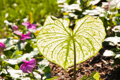 Single Caladium Leaf Royalty Free Stock Image