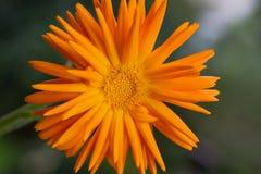 Single Calendula Officinalis Stock Photography