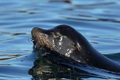A Single California Sea Lion Swimming in the Ocean, Canada Stock Image