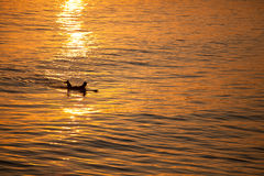 Single California surfer at sunset Stock Photos