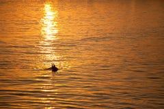 Single California surfer at sunset Stock Photo
