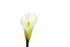 Single calla Royalty Free Stock Photos
