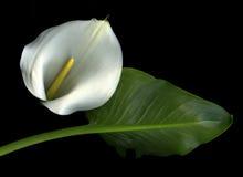 Single  Calla Lily. Single calla lily isolated on black Stock Photos
