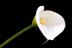 Single calla lily Royalty Free Stock Photo