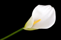 Single calla lily Royalty Free Stock Image
