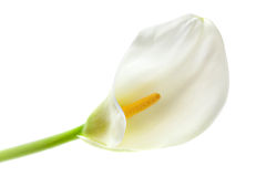 Single calla lily Stock Images
