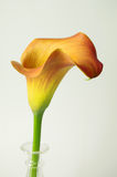 Single calla lily Royalty Free Stock Photography