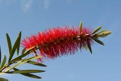 Single Callistemon Citrinus Flower - Crimson Red Bottlebrush Royalty Free Stock Photography