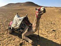 Single camel in the desert royalty free stock images