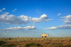 Single Camel Royalty Free Stock Photo