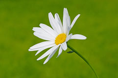 Single camomile. Single white camomile on  nature background Stock Image