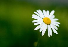 Single camomile. On green background Stock Photography