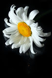 Single camomile on black background Stock Photo