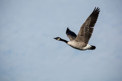 Single Canada goose in flight Royalty Free Stock Photography