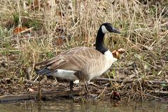 Single Canada Goose standing at the waters edge Stock Photos
