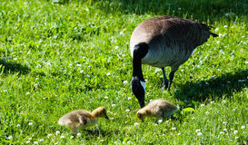 Single Canada Goose with two goslings in grass Stock Photography